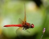 "Dragonfly #4 or ""You Talkin to Me?"" (jimoliverphotography) Tags: red dragonflies dragonfly insects waters tacoma ponds youtalkintome jimoliver jimoliverphotography jimoliverphotographycom"