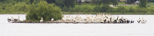 pelicans and cormorants_2