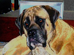 Uther (Ricky the Rocket) Tags: dog puppy englishmastiff mastiff southcarolina utherpendragon rickytherocket