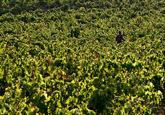 Perpignan (Alex Worren) Tags: plant france green vineyard grape perpignan