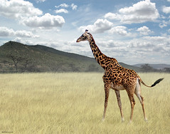 Once Upon a Time in Kenya - 3 - (Ben Heine) Tags: voyage africa travel light summer mountain motion green art texture nature ecology grass clouds composition print relax soleil movement scenery poem dof natural herbs nikond70 kenya pov walk lumire quality hill peaceful scene compo vert follow safari exotic harmony photomontage environment series pace giraffe savannah tomorrow copyrights discovery dieren depth rhythm mouvement symbolism nationalgeographic ecosystem girafe discover dcouverte bigfive wildanimals highres potofgold giraf marcher herbes profondeur suivre savane troupeau exotism animauxsauvages benheine saariysqualitypictures flickrunitedaward infotheartisterycom