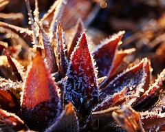 Frosty leaves (jcbstn07) Tags: morning cold macro leaves frost frosty frostyleaves macroleaves