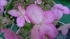 PAPILLON....BUTTERFLY . (picolojojo) Tags: pink flowers fab flower green nature fleur rose fleurs garden jardin vert panasonic verdure abigfave outstandingshot colourartaward goldstaraward mimamorflowers goldenartaward