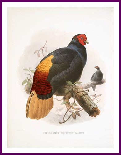 019-A monograph of the Phasianidae- D. J. Elliot 1872