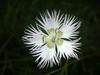 ...harmony on black... (rebranca46) Tags: friends macro nature flora wildflower onblack blueribbonwinner fioredicampo rebranca citrit macromarvels
