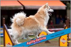 Hunderasse: Elo - beim Agility