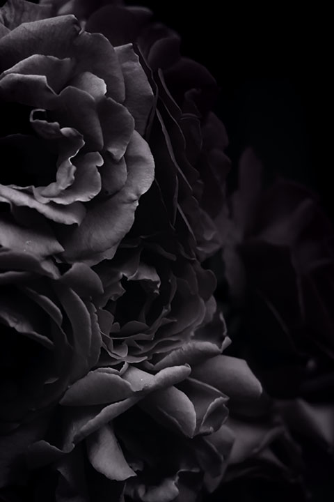 Photography - Dark Rose by Nicholas M Vivian
