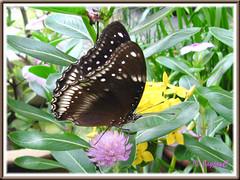 Hypolimnas bolina jacintha (Jacintha Eggfly) with wings slightly opened