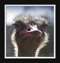Ostrich (Arie van Tilborg) Tags: zoo blijdorp ostrich dierentuin struisvogel struthiocamelus loopvogel estremità arievantilborg