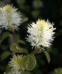 Soft in the Head (mimicapecod) Tags: flowers nature softness whiteflowers fothergilla fantasticflower mywinners flowersgroup thenaturegroup flickrsfantasticflowers bestflickrphotography simplythebest~flowers excellenceinfloralphotogrsphy