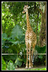 Giraffe (choui168) Tags: animals pcc singaporezoo cebuphotoorg