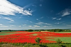 Burning landscape (Axel_) Tags: red flower rot field canon germany landscape deutschland eos feld rape poppy poppies blte landschaft raps papaver mecklenburg mecklenburgvorpommern mohn papaveraceae cornpoppy klatschmohn papaverrhoeas blueribbonwinner mohnblte 50d mywinners eyckata