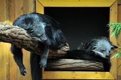 Binturong (Joachim S. Mller) Tags: animal germany mammal deutschland zoo hessen darmstadt tier vivarium binturong asianbearcat arctictisbinturong civet sugetier schleichkatze marderbr arctictis geo:lat=4986574274 geo:lon=868251711 tamronaf18270mmf3563