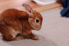 DSC_1035 (choimakko) Tags: rabbit bunny
