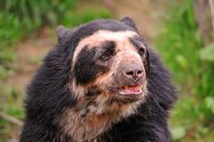[フリー画像] [動物写真] [哺乳類] [熊/クマ] [メガネグマ]       [フリー素材]