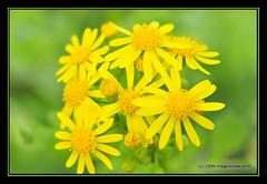 Sunny (Blue-Sky Pink) Tags: flower yellow weed wildflower soe d300 topshots hbw natureselegantshots imagesbytakache vosplusbellesphotos 134onjune182009