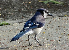BlueJay (Charlie Carroll) Tags: nature outdoors florida bluejay creativemoment