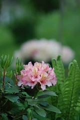 flowers (Matevz Umbreht) Tags: red summer plant blur flower green nature floral beauty grass yellow garden bokeh vrt background rhododendron makro rododendron ozadje rumeno rastline rdee