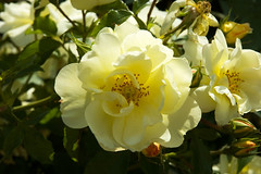 "Wild-Roses (gainsheritage ""Commenting when I Can"") Tags: flowers plant fauna flora pretty wildflowers blooms horticulture wildroses awesomeblossoms"