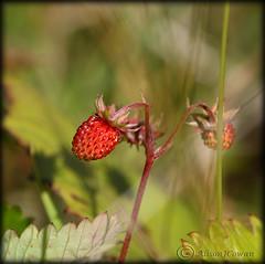 wild strawberries (Al JC) Tags: wild nature scotland strawberry fife tiny abigfave anawesomeshot aplusphoto