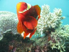 canon indonesia underwater dive scuba diving powershot clownfish anemonefish indonesien lembeh tauchen unterwasser clownfisch g9 spinecheekanemonefish premnasbiaculeatus samtanemonenfisch stachelanemonenfisch