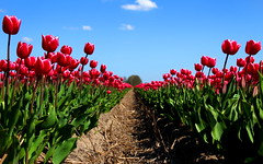 Tulip Street  The Netherlands (kees straver (will be back online soon friends)) Tags: pink flowers red flower holland macro green nature netherlands yellow clouds garden vanishingpoint spring tulips thenetherlands tulip 5d tulipfield noordholland tulpen blueskys bloem markii tulp tulpenveld keesstraver growingtulips dutchhighrise dutchskyscraper