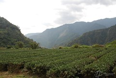 Teeplantage Lidao (Guenter Whittome) Tags: tea taiwan  tee  teaplantation   bunun     teeplantage scih centralmountainrange southcrossislandhighway lidao zentralgebirge