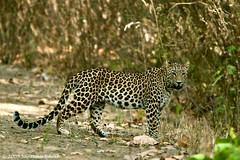 Indian Leopard ~ Kanha National Park (The Eternity Photography) Tags: india tourism nature animal forest canon mammal nationalpark asia wildlife safari leopard bigcat jungle predator 2009 sanctuary wildlifesafari digitalphotography gamedrive madhyapradesh kanhatigerreserve carnivora kanha badrinath felidae centralindia indiatourism wildlifephotography wildindia indianwildlife kanhanationalpark incredibleindia iloveindia savethetiger kanhawildlifesanctuary visitindia natureislovely indianleopard santanubanik theeternity savethewildlife flickrbigcats pantherapardusfusca madhyapradeshtourism     leopardinthewild badrinathkanha kanhatrip iloveindianwildlife    wwwfrozenforeternitycom leopardontheroad centralindiaforest