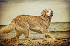 some things never change (Ciscolo) Tags: summer beach goldenretriever fun moving warnemnde saturday cisco