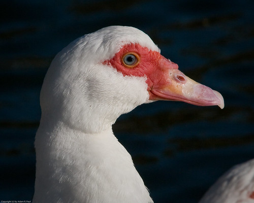 "Muscovy ""mutt"" duck by you."