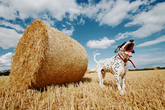 Dog Walk (Chrimes.666) Tags: blue sky dog colour field yellow clouds walking photography nikon lab cross walk swindon dalmation collar wiltshire marston yawning d40 meysey