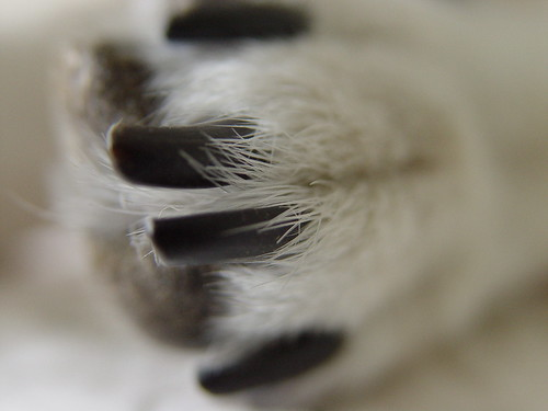 shiba toes