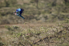 Lilac Breasted Roller in Flight (CaptainCanine) Tags: bird lilacbreastedroller