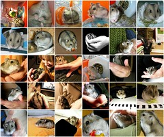 In loving memory of my tiny love Poldino (unaerica) Tags: italy hairy pet pets cute nature beauty animals closeup fur outdoors furry fdsflickrtoys nikon friend funny italia friendship sweet mosaic critter rip adorable fluffy happiness prince mosaico plush moustache occhi hamster curious animali tenderness hamham cuccioli criceto unaerica cricetino poldino