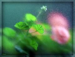 Geranium Art (ruschi_e) Tags: flowers window glass schweiz switzerland fenster blumen geranium soe glas visualart iloveyourart abigfave anawesomeshot platinumheartaward ruschie kunstplatzlinternational creattività
