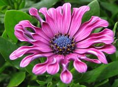Purple African Daisy (Jemsabell) Tags: purple africandaisy goldstaraward theperfectpinkdiamond newgoldenseal