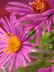 Flowers-  miniature