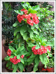 Orangy-red Euphorbia milii (Crown of Thorns)