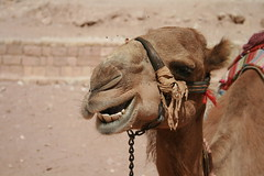 A Camel, Masticating