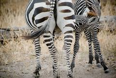 Allaitement d'un zébreau (orang_asli) Tags: africa nature animals tanzania mammal nationalpark champs zebra fields tarangire lieux afrique mammifère aficionados faune naturel zèbre tanzanie savane parcnational géographie gographie zbre mammifre