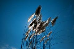 Happy sunshine [..Dhaka, Bangladesh..] (Catch the dream) Tags: blue autumn sky sun flower nature sunshine clouds ray fluffy rays dhaka bangladesh shimmer catkins aesthetics bangladeshi abigfave aminbazar gettyimagesbangladeshq2