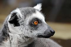 lemur catta (Joachim S. Müller) Tags: animal germany mammal deutschland zoo monkey lemur duisburg primate nordrheinwestfalen tier affe ringtailedlemur katta primat lemurcatta säugetier zooduisburg feuchtnasenaffe itsazoooutthere kalender2010 tamronaf18270mmf3563