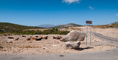 Road Crossing near Talana and Monte Olinie (medXtreme) Tags: italien italy animals kuh cow europa europe sardinia bovinae sardinien ogliastra domesticcattle landwirbeltieretetrapoda laurasiatheria kiefermulergnathostomata vielzelligetieremetazoa wirbeltierevertebrata hheresugetiereeutheria sugetieremammalia paarhuferartiodactyla wiederkuerruminantia talanaog horntrgerbovidae auerochsebosprimigenius eigentlicherinderbos hausrindbosprimigeniustaurus rinderbovini