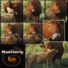 Mootherly Luv (Maggggie) Tags: love collage tongue cows farm pasture calf licking motherly nikond60 pse6