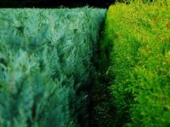 Split colors (W. Visser) Tags: trees tree green greens eersel noordbrabant bergeijk buxes wiechert wiechertvisser