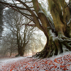 Winter Beech (angus clyne) Tags: road winter red snow cold tree leaves forest carpet scotland oak woods bravo branch perthshire roots deep fork filter bark lee twig trunk mast trunks thin root beech murthly flikcr leefilters colorphotoaward thesecretlifeoftrees