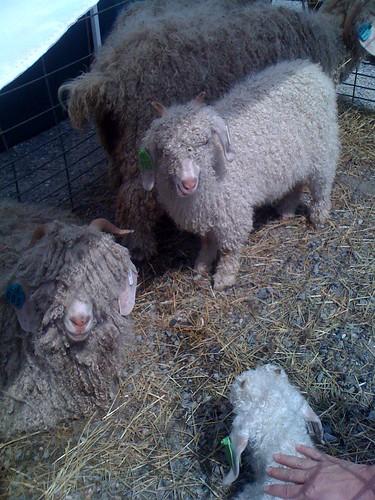 angora_goats
