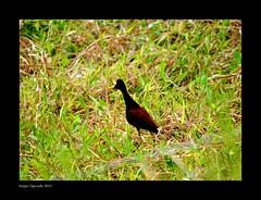 Nesting Northern Jacana - Jacana spinosa (squesada70) Tags: brown bird animal costarica tropical northern nesting jacana spinosa