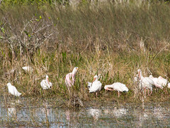 Roseate Spoonbill (larryyorknh) Tags: birds floridakeys