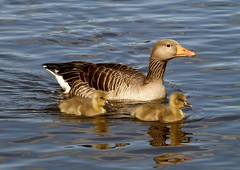The proud Mom (Kirsten M Lentoft) Tags: lake water birds geese goose waterfowl blueribbonwinner utterslevmose kirstenmlentoft